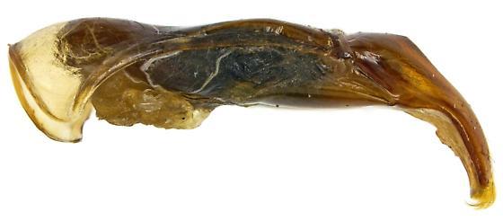 Male, Euphoria leucographa? - Euphoria leucographa - male