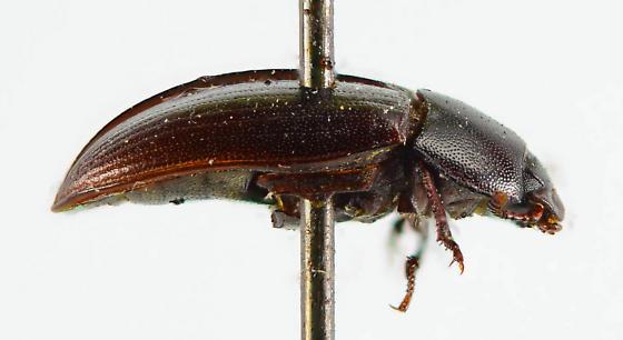 Alphitobius? - Alphitobius diaperinus