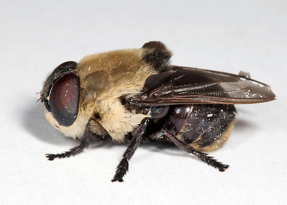 Bot Fly - Cuterebra emasculator - male