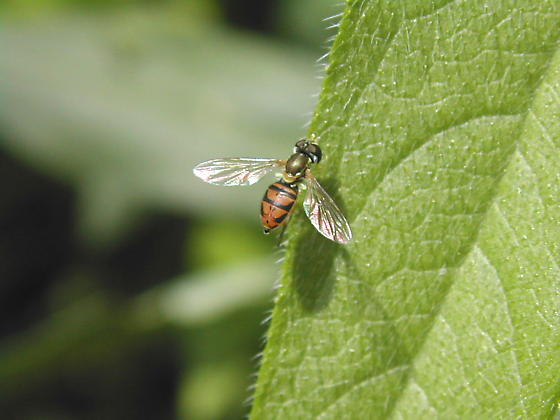 HoverFly 2a - Toxomerus marginatus - female