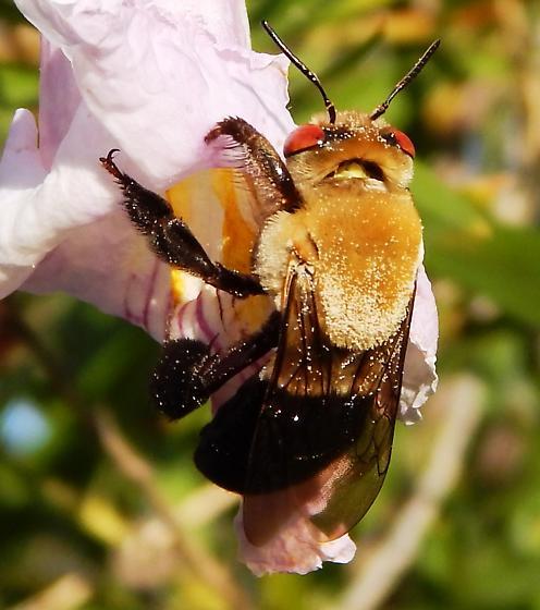 Red eye bumble bee - Centris rhodopus