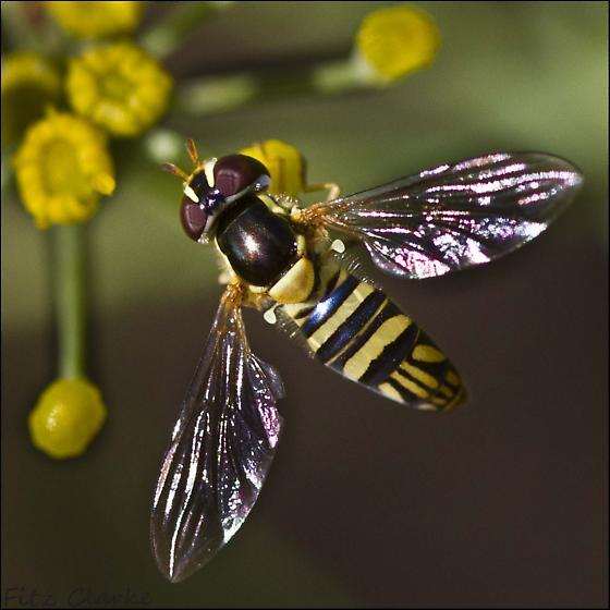 Q Hover fly nectaring Dill - Allograpta obliqua - female