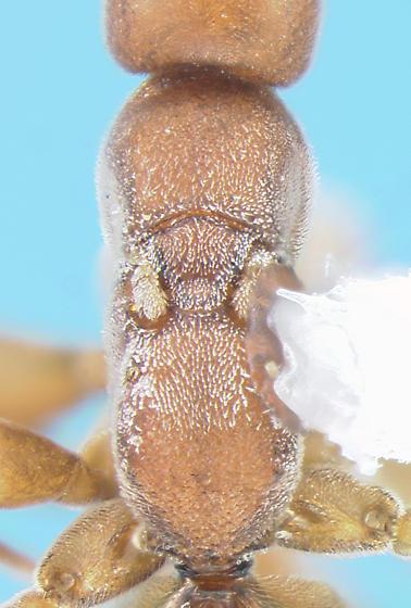 Embolemid - Embolemus nearcticus - female