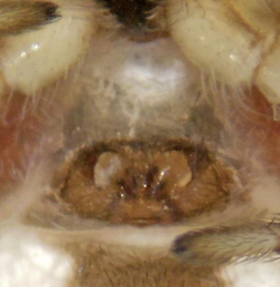 Mallos female? - Mallos pallidus - female