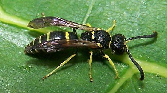 Ancistrocerus adiabatus - male