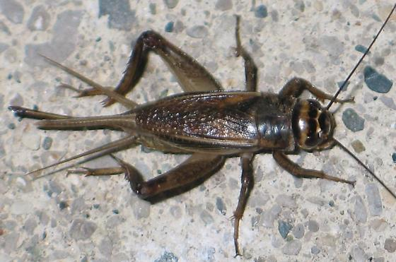 brown-and-black cricket - Acheta domesticus - female