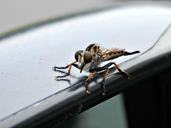 First Robber Fly of the Season - Efferia aestuans - female