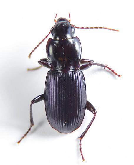 Pterostichini? - Pterostichus