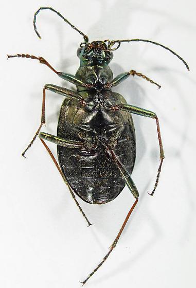 Opisthius richardsoni? - Opisthius richardsoni