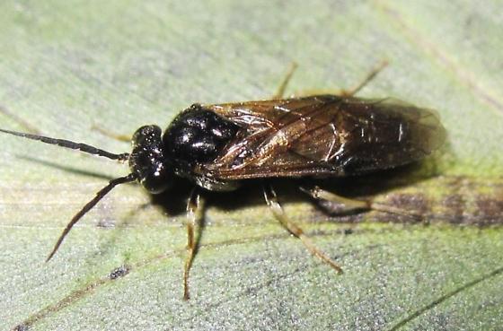 what species? - Cladius difformis - female