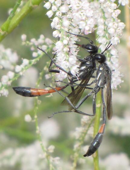 Procera pair - Ammophila procera - male - female