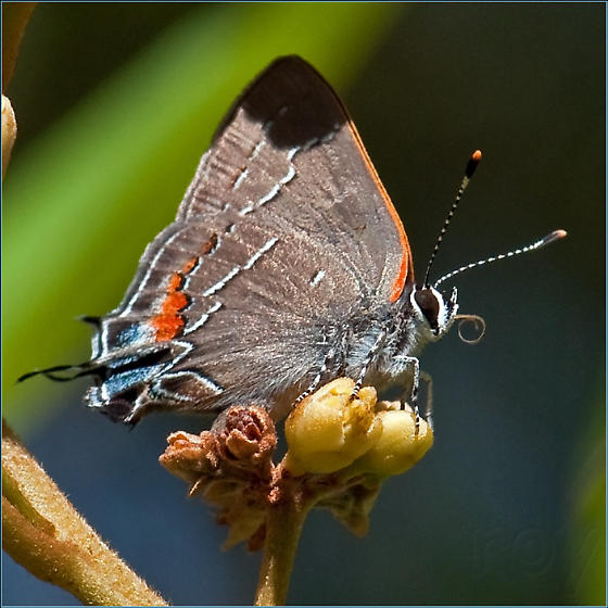 Southern Oak Hairstreak - Satyrium favonius