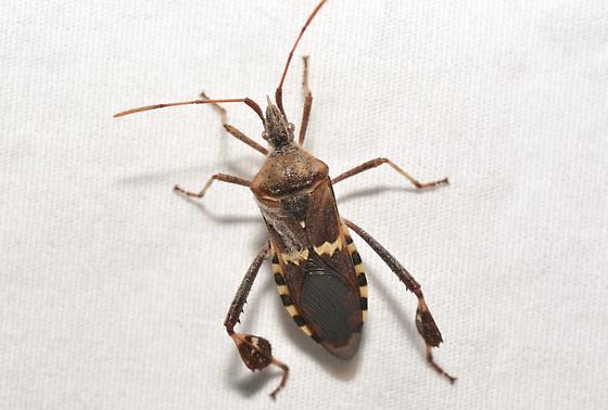 Hemipteran - Leptoglossus clypealis