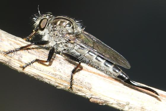 Robber fly - Efferia aestuans - female