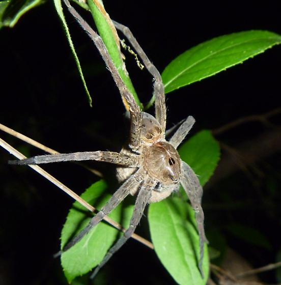 spider - Dolomedes vittatus - female