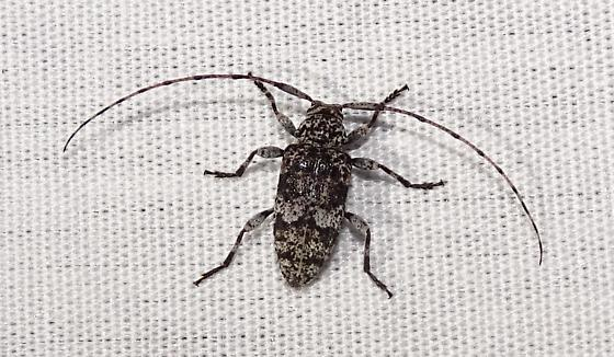 Cerambycidae - Sternidius