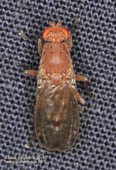 Drosophila ? - Suillia
