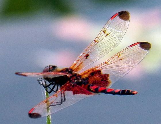Red dragon - Celithemis elisa