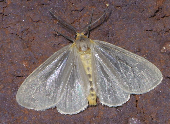 Gray moth (2) with a little yellow around its head - Pagara simplex