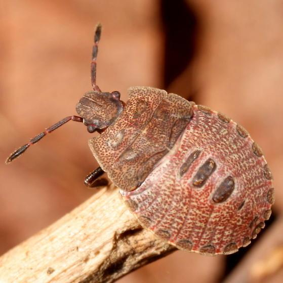 Brown pentatomoid nymph - Menecles insertus