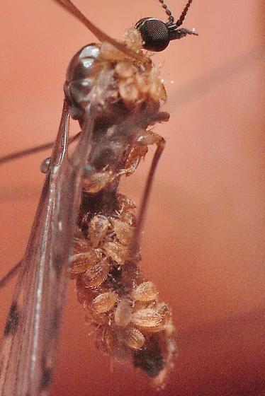 Odd Mites - Cheiroseius
