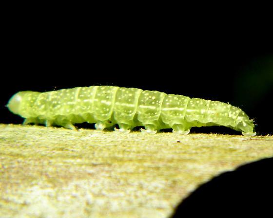 Caterpillar - Paectes