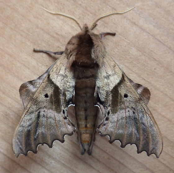 Sphingidae: Paonias excaecata - Paonias excaecata - male