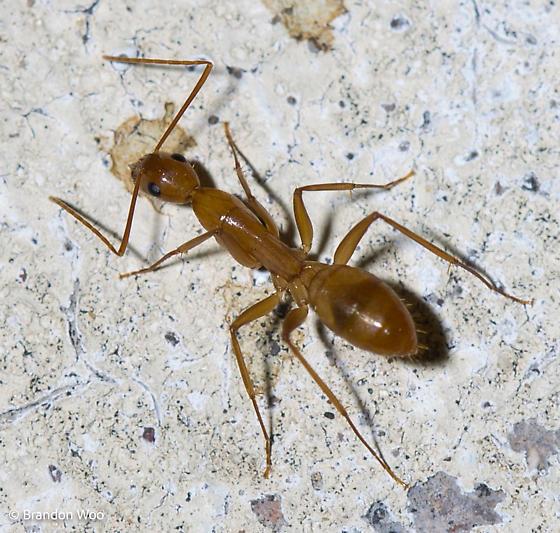 Camponotus fragilis? - Camponotus - female