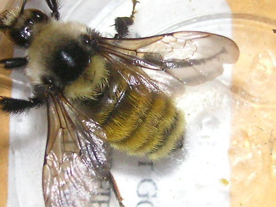 Bombus appositus in Breckenridge. - Bombus appositus - female