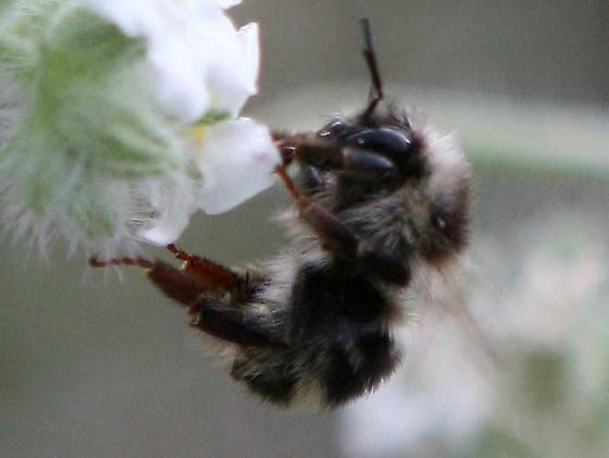 Bombus bifarius - female