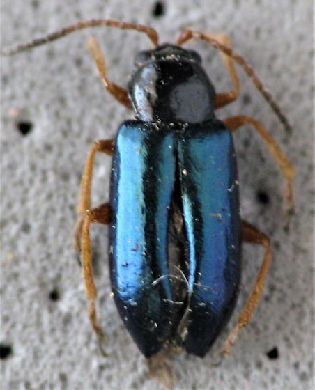 Something in Criocerinae? - Scelolyperus