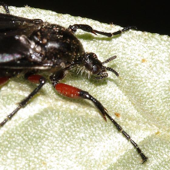 March Fly - Bibio femoratus