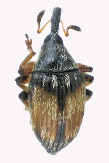 Weevil beetle - Nanophyes marmoratus