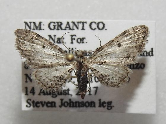 Eupithecia affinata - Hodges#7495 - Eupithecia affinata - male