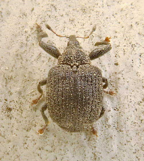 weevil or related family - Odontopus calceatus