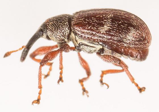 Beetle - Anthonomus