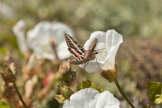 Moth at Fraser Point in Santa Cruz Island, Channel Islands - Hyles lineata