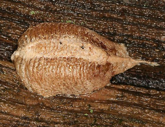 European Mantis Egg Case - Mantis religiosa