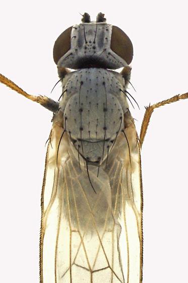 Chamaemyiidae - Chamaemyia