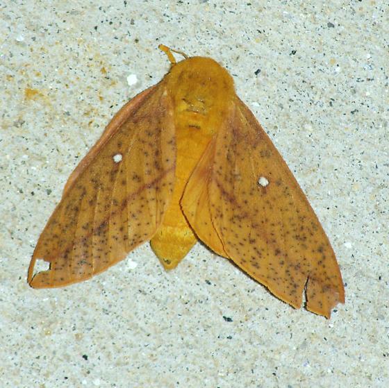 7716 Spiny Oakworm Moth  - Anisota stigma - female
