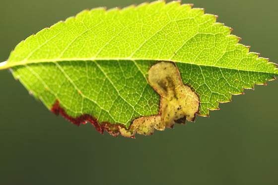 Unid Leafminer 12 - Agromyza