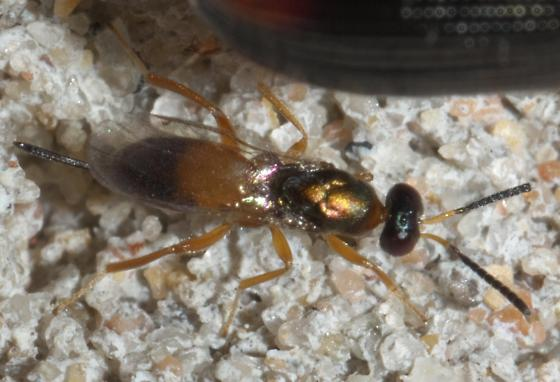 Red and black chalcid wasp - female