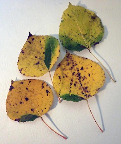 Green Islands on Populus tremuloides - Ectoedemia argyropeza