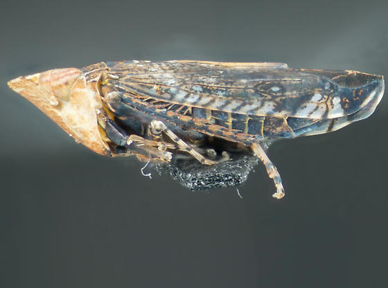 Leafhopper in La Habra California3 - Scaphytopius