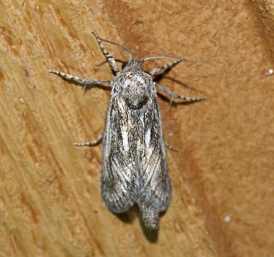 Cossidae - Hypopta palmata - female