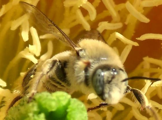 Chimney Bee Blond Hairs - Diadasia - male