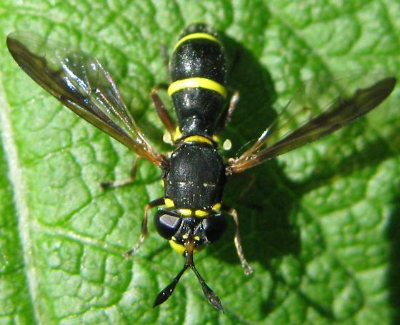 Sphiximorpha willistoni male? - Ceriana abbreviata - female