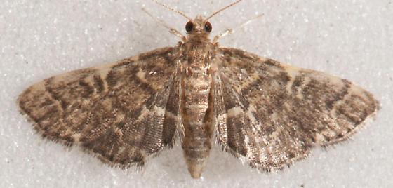 Anageshna primordialis – Yellow-spotted Webworm Moth - Anageshna primordialis