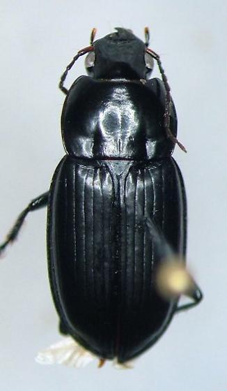 Diplocheila obtusa - female
