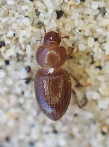Beetle - Batuliomorpha comata